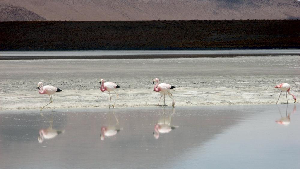 flamencos - laguna hedionda
