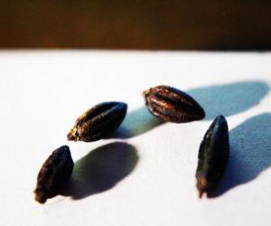semi di coca