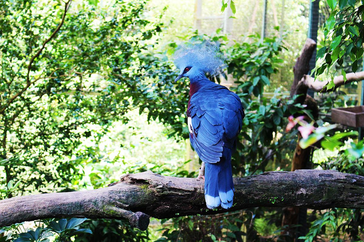 goura-occidentale allo Jurong Bird Park di Singapore